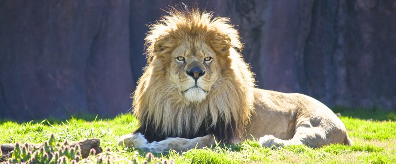 Norfolk Zoo Lion